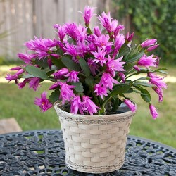 christmas cactus from Verzaal's Florist & Events in Wilmington