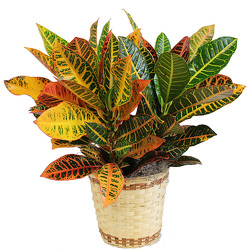 Croton from Verzaal's Florist & Events in Wilmington