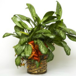 Dieffenbachia from Verzaal's Florist & Events in Wilmington