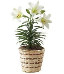 Easter Lily from Verzaal's Florist & Events in Wilmington