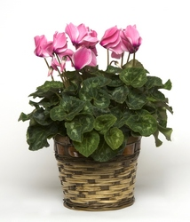 Cyclamen from Verzaal's Florist & Events in Wilmington