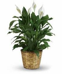 Peace Lily  from Verzaal's Florist & Events in Wilmington