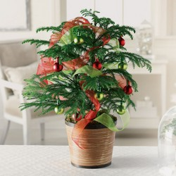 Jolly Norfolk Island Pine from Verzaal's Florist & Events in Wilmington