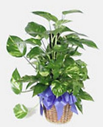 Pothos from Verzaal's Florist & Events in Wilmington