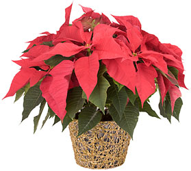Merry Poinsettia from Verzaal's Florist & Events in Wilmington